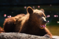 Siberian Brown bear - cub Stock Photo