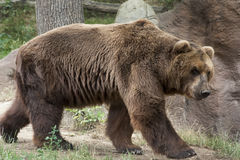 Siberian Brown Bear Royalty Free Stock Photos