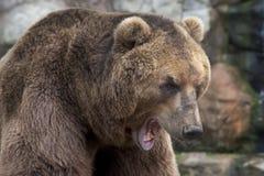 Siberian Brown Bear Stock Images