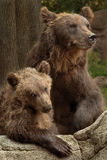 Siberian Brown Bear Stock Image