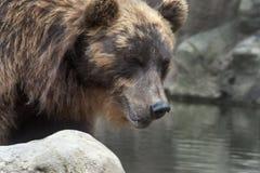 Siberian Brown Bear Stock Image