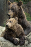 Siberian Brown Bear Royalty Free Stock Image