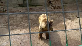 Brown bear in a cage