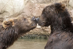 Siberian Brown Bears. A kiss on the nose of young siblings Siberian Brown Bears stock images