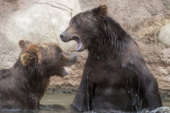 Siberian Brown Bears Stock Images