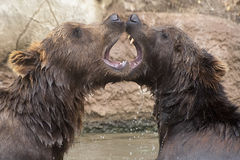 Siberian Brown Bears. Young Siberian Brown Bears are playing in water stock photos
