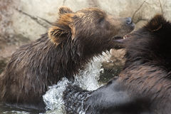Siberian Brown Bears Stock Photo