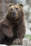 Siberian Brown björn Royaltyfri Fotografi