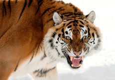 Siberian brumma för tiger Arkivfoto