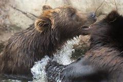 Siberian brunbjörnar Arkivfoto