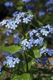 Siberian bugloss Stock Image