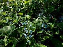 Siberian bugloss brunnera macrophylla Stock Photo