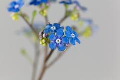 Siberian bugloss flowers Brunnera macrophylla Stock Photos