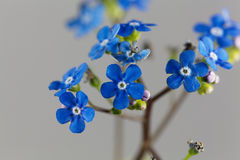 Siberian bugloss flowers Brunnera macrophylla Royalty Free Stock Image
