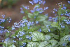 Siberian Bugloss - Jack Frost Stock Photography