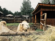 Siberian camel royalty free stock photography