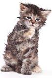 Siberian cat. Isolated on white Stock Image