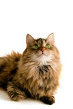 Siberian cat. Siberian woolly cat on a white background stock image