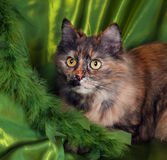 Siberian cat. On green background Royalty Free Stock Photography
