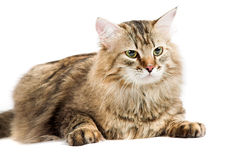 Siberian cat Stock Images