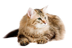 Siberian cat Royalty Free Stock Photos