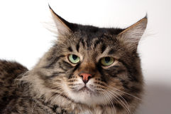 The siberian cat Stock Photos