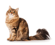 Free Siberian Cat Stock Photography - 43042052