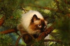 Siberian cat. On a pine-tree Royalty Free Stock Image