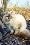 Siberian cat in a autumn forest Royalty Free Stock Images