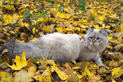 Siberian cat in a autumn leaves Stock Photography
