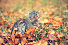 Siberian cat in autumn Stock Images