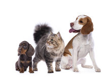 Siberian cat and  beagle look up Royalty Free Stock Images