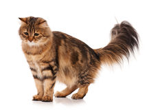 Siberian cat. Siberian beautiful adult cat over white background Stock Photography