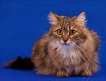 Siberian cat Royalty Free Stock Photography