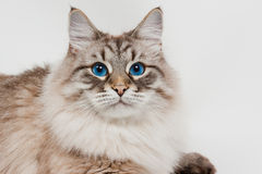 Siberian cat with beautiful blue eyes Stock Images