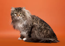 Siberian cat black tiger. With white on light brown background Royalty Free Stock Images