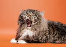 Siberian cat black tiger. With white on light brown background Royalty Free Stock Photo