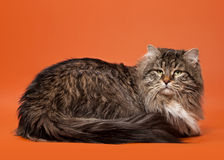 Siberian cat black tiger. With white on light brown background Royalty Free Stock Photography