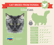 Siberian Cat breed  infographics Stock Image