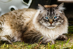 Siberian cat breed Stock Images