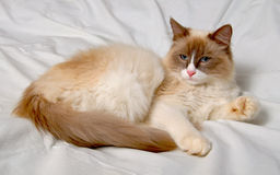 Siberian cat breeds Nevskaya-Masqueradnaja. Stock Image