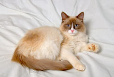 Siberian cat breeds Nevskaya-Masqueradnaja. Stock Photography