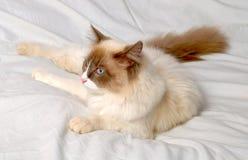 Siberian cat breeds Nevskaya-Masqueradnaja. Stock Photography