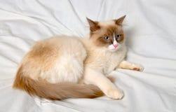 Siberian cat breeds Nevskaya-Masqueradnaja. Royalty Free Stock Photo