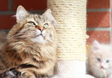 Siberian cat brown tricolor version Stock Photos