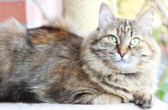 Siberian cat brown tricolor version. View of adult female of siberian cat,brown tricolor version Stock Photo