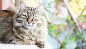 Siberian cat brown tricolor version. View of adult female of siberian cat,brown tricolor version Stock Photography