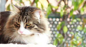 Siberian cat brown with white version Royalty Free Stock Image