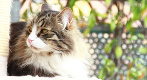 Siberian cat brown with white version. View of adult male of siberian cat,brown with white version Stock Photos