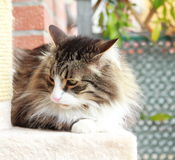 Siberian cat brown with white version Stock Photos